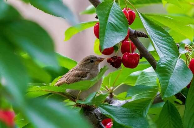 Птица, не тронь урожай! Какие способы защиты самые эффективные