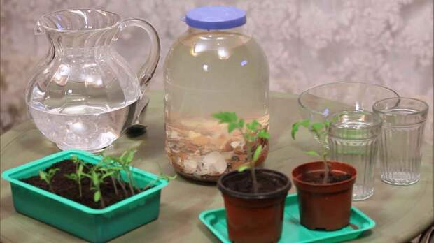 Кальциевая вода для полива рассады