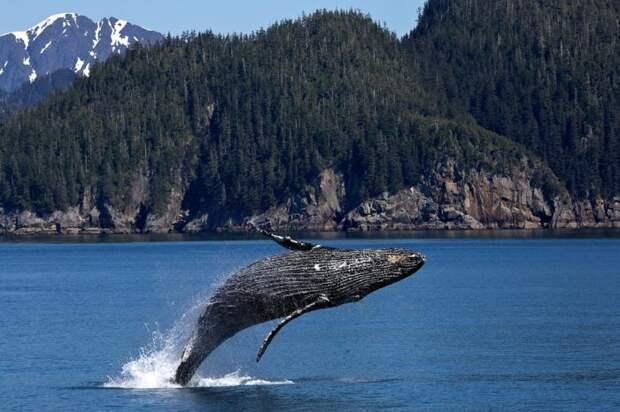 Интересные факты о горбатом ките
