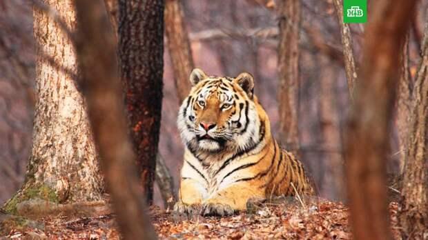 В Сихотэ-Алинском заповеднике установят 100 фотоловушек для учета тигров