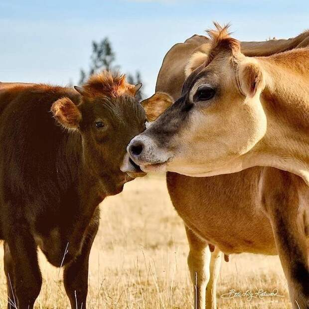 Теленок подружился с одиноким слепым бизоном и изменил жизнь животного