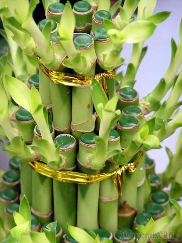 Два способа выращивания комнатного бамбука