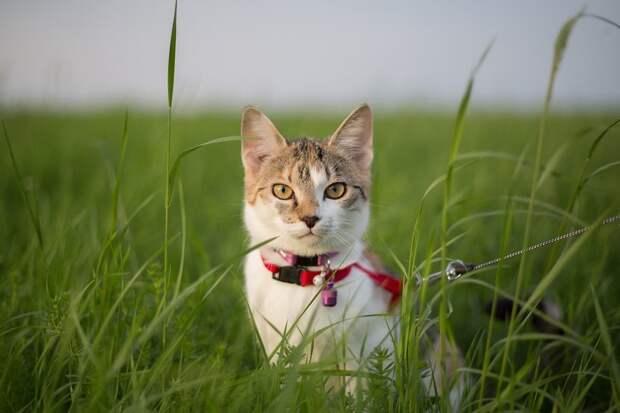 Кот наповодке