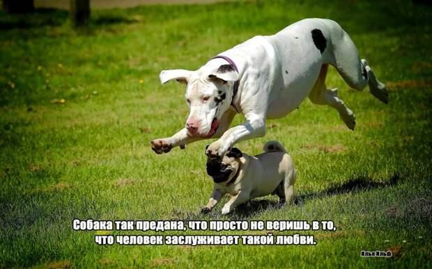 9.  афоризмы, животные, собаки