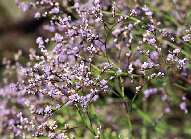 Растения долгожители / Садовые цветы / Цветы