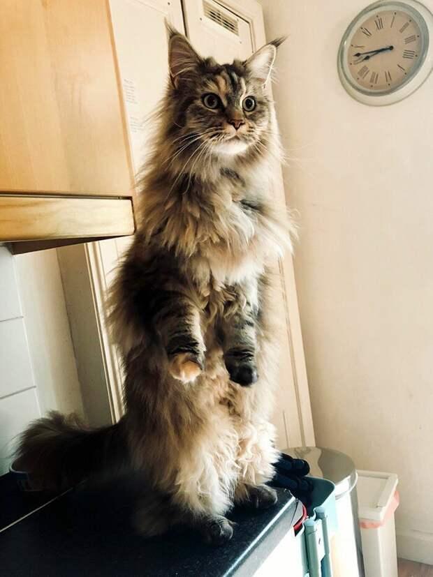 На посту домашние животные, животные, забавно, кошки, мило, мэйкуны, очаровательно, смешно