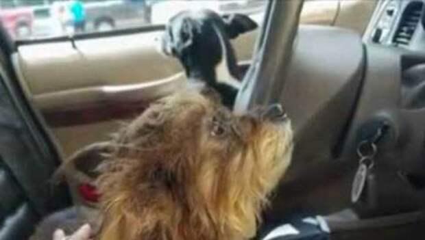 В США две собаки угнали автомобиль у пенсионерки