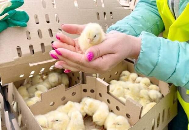 "Южно-сахалинская птицефабрика ""Островная"" стала богаче на 90 тысяч цыплят"