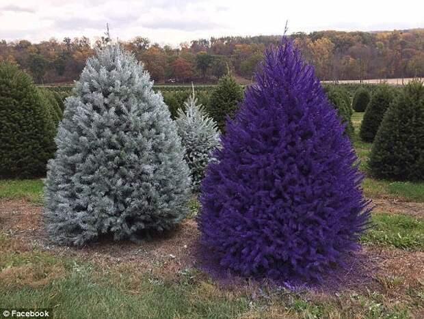 На качество покраски могут повлиять способ нанесения, размер дерева, а также погодные условия: ветер, температура воздуха. trendy, креатив, новый год, рождество, сша, ферма, фото, ёлки