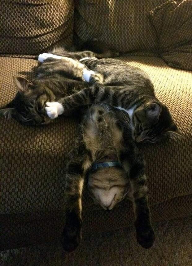 18. Как спят три кошачьих брата животные, забавно, забавные животные, кот, коты, кошки, приколы с животными, смешно