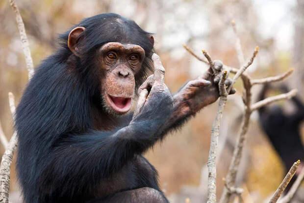 Сотрудница зоопарка позвонила повидео шимпанзе, чтобы показать своего малыша