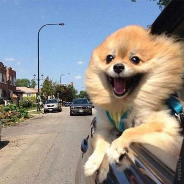 Забавные собаки в автомобилях