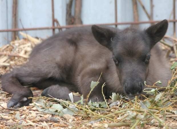 Итоги дня: гибель оленёнка в зоопарке Удмуртии, прививки от бешенства и финишная прямая на выборах главы Вавожского района
