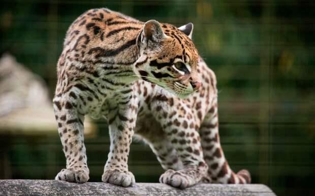 Леопард оцелот - уникалькое животное
