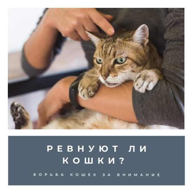 Борьба кошек за внимание. Ревнуют ли кошки?