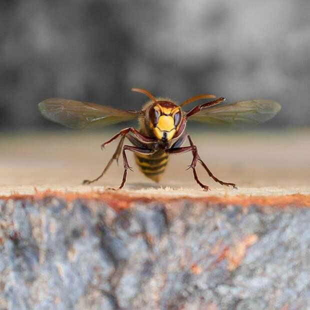 Обычно шершни используют это оружие, нападая на пчелиные гнезда, чтобы полакомиться личинками