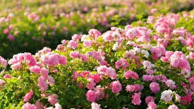 Лепесток за лепестком: ФАН побывал на производстве косметики из роз в Крыму
