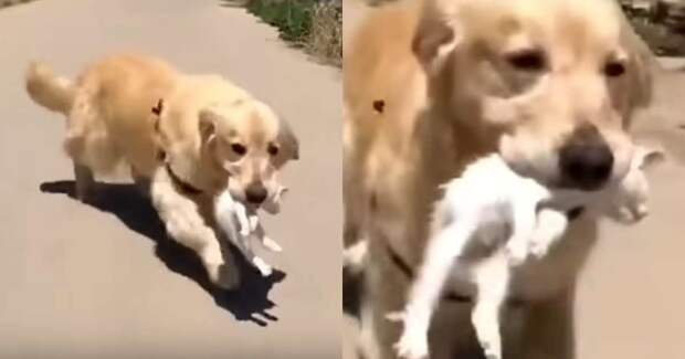 Собака спасла котенка и принесла домой, полностью окружив заботой