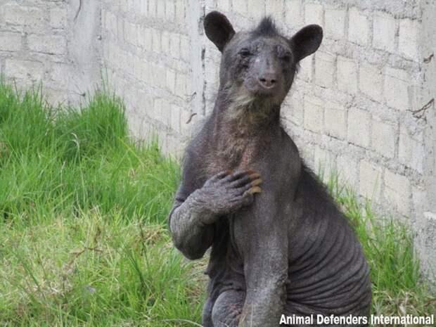 Трогательное спасение медведицы из-за стресса потерявшей почти всю шерсть