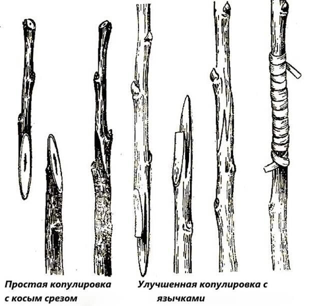 Копулировка деревьев схема