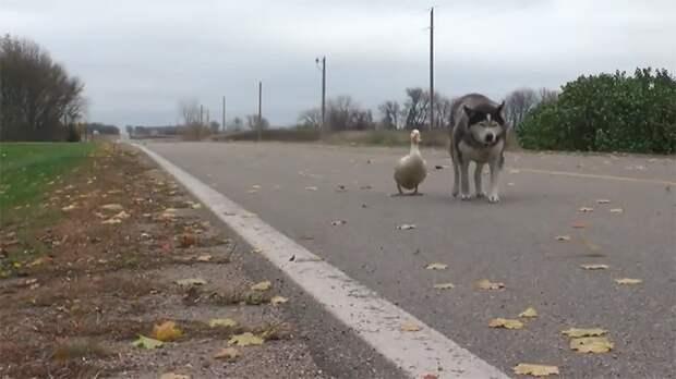 Макс страшно горевал дружба, животные, история, собака, утка, фото, хаски