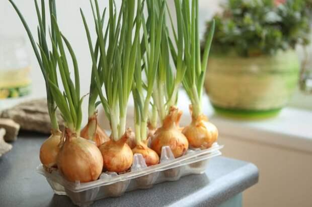 выращивать лук в яичных лотках