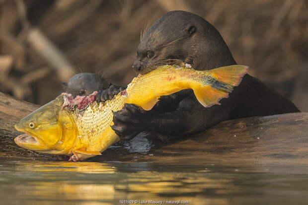 Гигантская выдра. На обед крокодил, на ужин ягуар