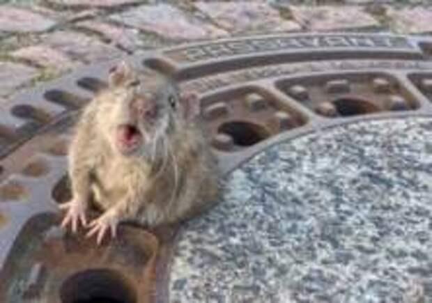 В Германии пожарные спасли крысу из канализационного люка