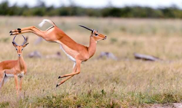 В мире животных тоже есть балет животные, балет