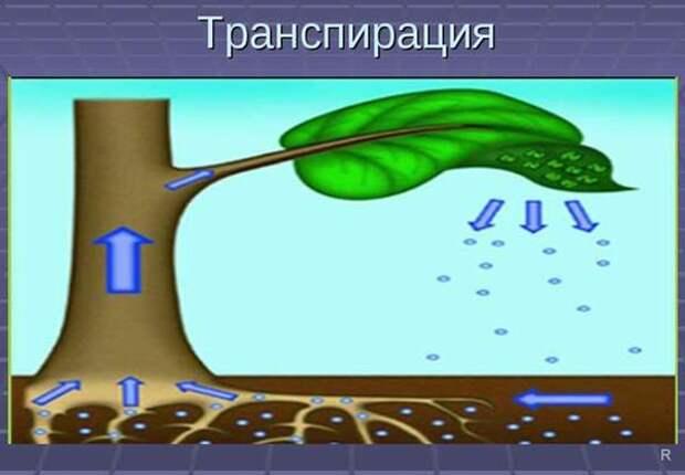 Какое дерево стоит посадить возле выгребной ямы, чтобы оно ее осушало и не давало воде накапливаться