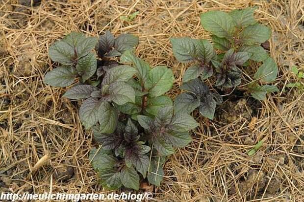 http://neulichimgarten.de/blog/wp-content/uploads/2009/06/kartoffeln-beginnen-zu-wachsen.jpg