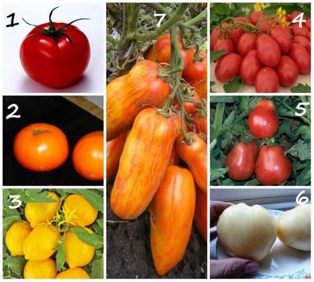 Формы плодов томатов