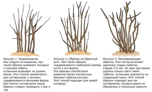 Как обрезать сирень после цветения