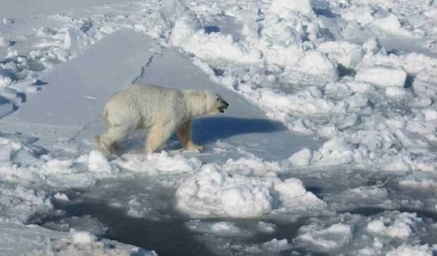 """Начался второй этап экспедиции по изучению белых медведей """"Хозяин Арктики"""""""