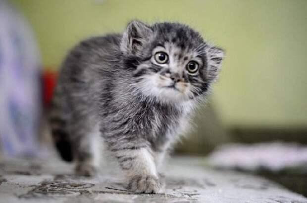 Детёныш манула по кличке Даша — дикий котёнок, который вырос в человеческой семье