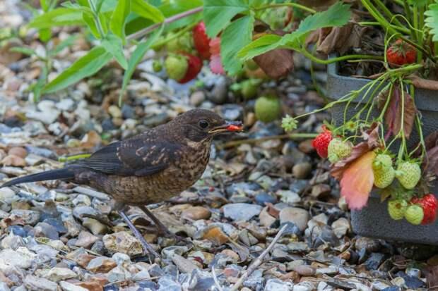 Как отогнать птиц от клубники: 3 простых и эффективных метода