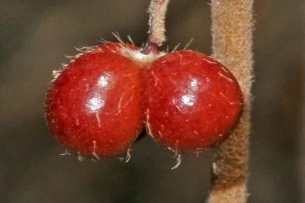 Австралийскому кустарнику, известному как собачьи яйца, наконец-то дадут научное название. Растения, Новый вид, Австралия, Ботаника, Ботаники!, Исследования