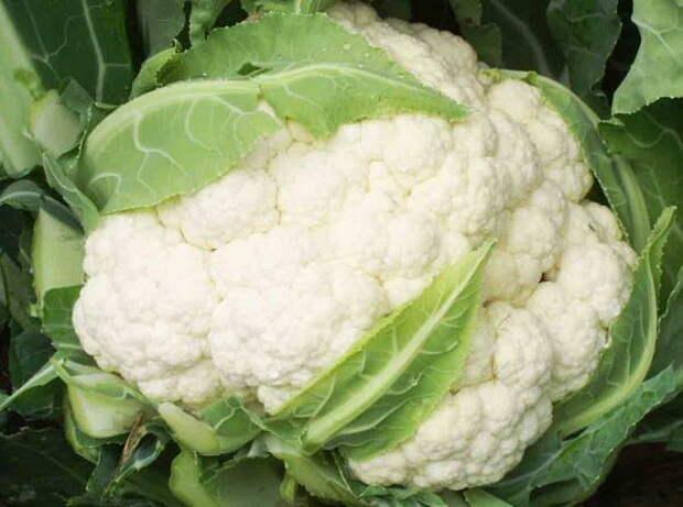 Семена капусты - продажа, покупка, цены - Семена капусты продам, куплю : АгроВектор