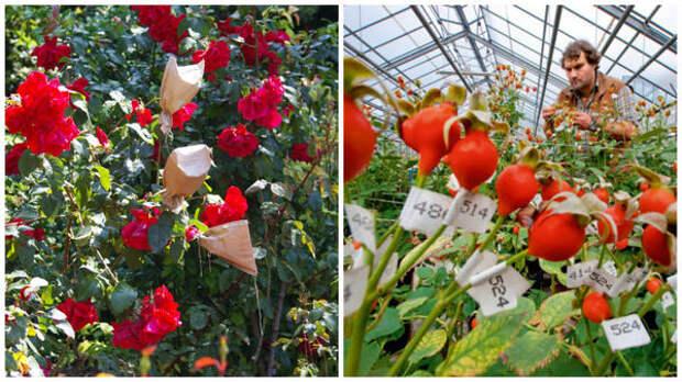 Таинство процесса селекции роз в Крыму; сотни тысяч пронумерованных плодов - будущее компании Кордес под Гамбургом, фото с сайта geo.ru