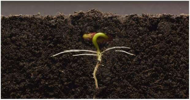 25 дней из жизни фасоли ботаника, видео, интересное, растение, рост, таймлапс, фасоль