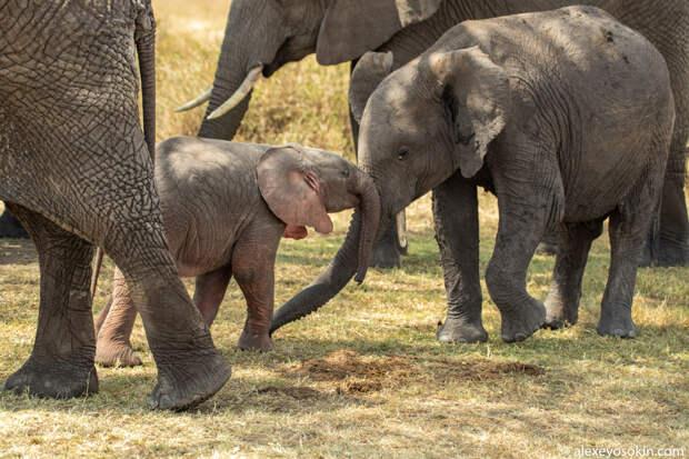 Розовые слоны на самом деле существуют в дикой природе!