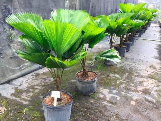 Комнатное растение Ликуала (Licuala)