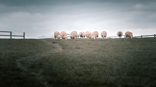 Reservoir Sheep by Mark Jones on 500px.com