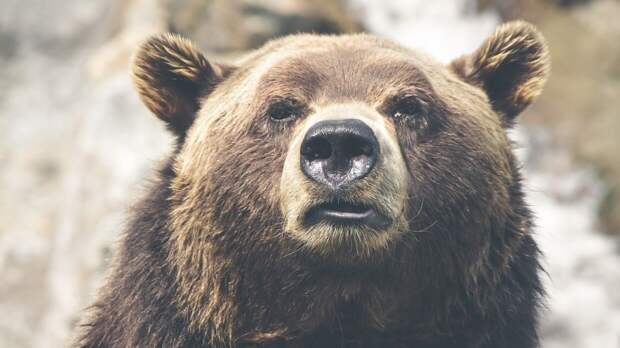 Принца Лихтенштейна обвиняют в убийстве самого большого медведя Европы