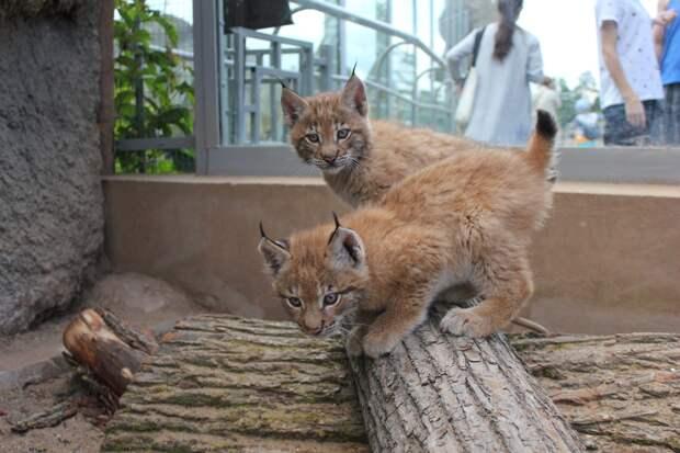 Родившиеся в Ижевске рысята переехали в зоопарк в Омской области