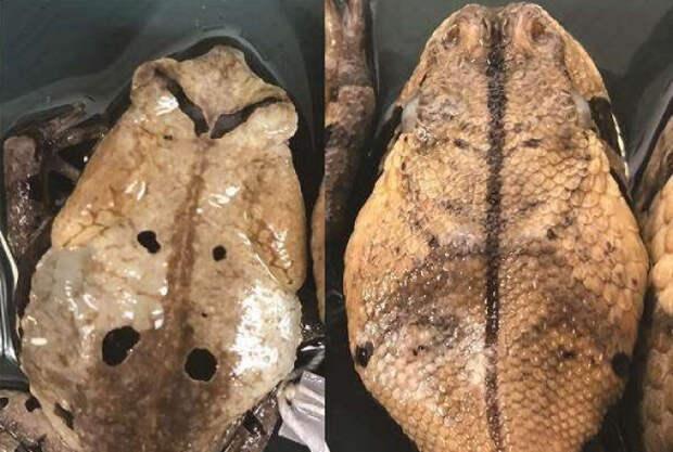 Хитроумная жаба, живущая в Африке, научилась притворяться гадюкой