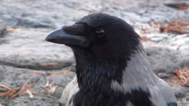 Спасённая ворона с чувством юмора подшутила над моим мужем