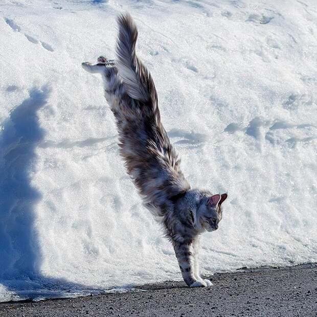 Зимняя зарядка домашние животные, животные, забавно, кошки, мило, мэйкуны, очаровательно, смешно