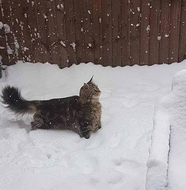 Первый снег домашние животные, животные, забавно, кошки, мило, мэйкуны, очаровательно, смешно