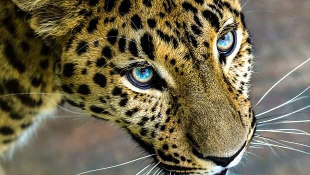 Редкий дальневосточный леопард вышел к людям в Приморье